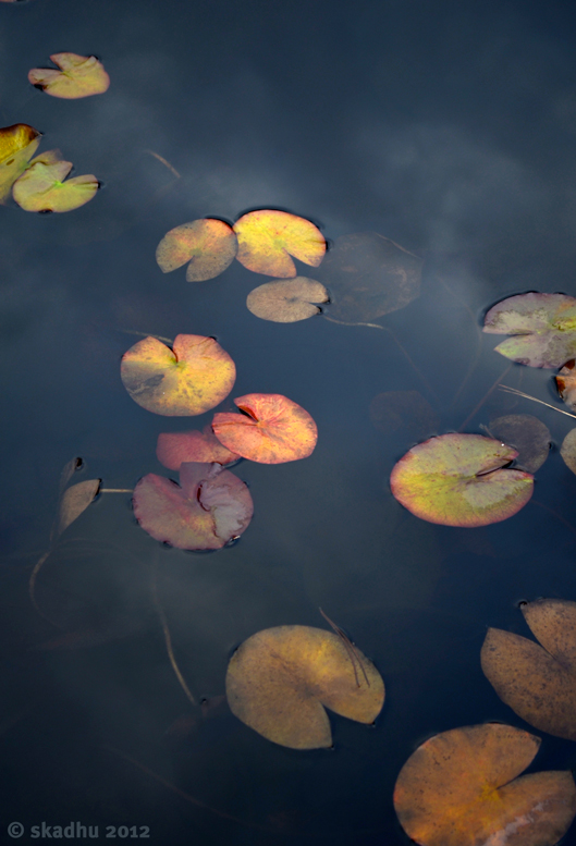 pond lilies and subtle cloud reflections