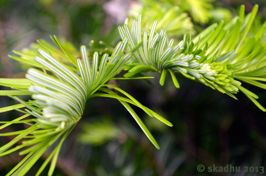 new fir needles 1