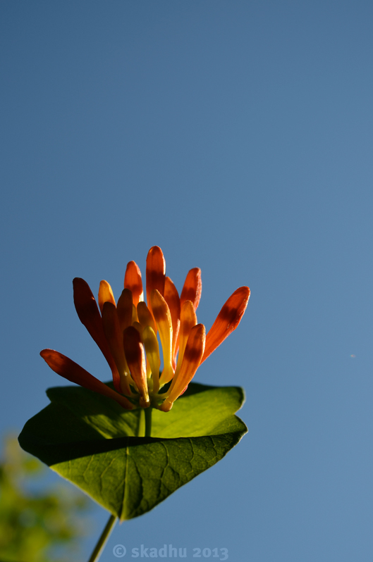 honeysuckle seen against sky