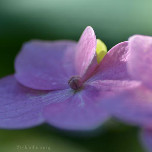 hydrangea flowers 3