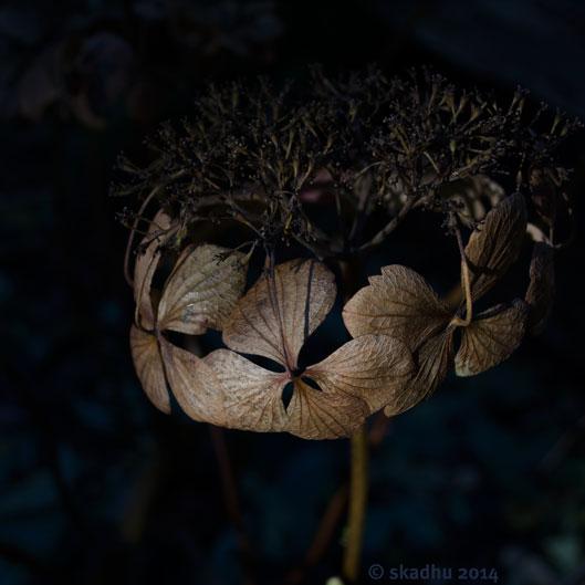 dead hydrangea flowers 3