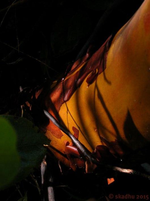 arbutus tree trunk with shadows
