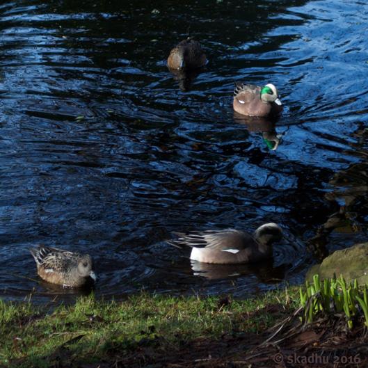 widgeon on pond