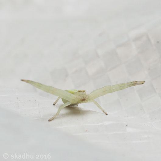 DSC_0965 goldenrod crab spider.