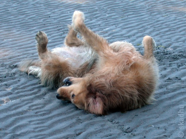 dog rolling in sand