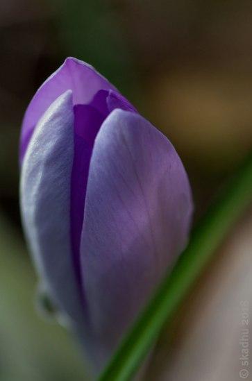 closeup of purple crocus