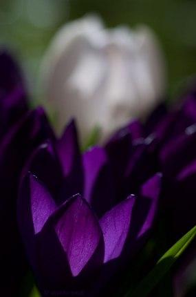 closeup of white crocus and purple crocuses