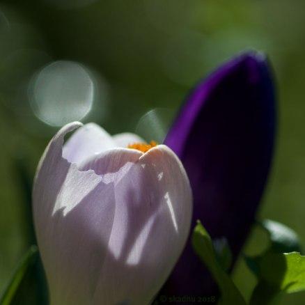 closeup of white-and-purple crocus