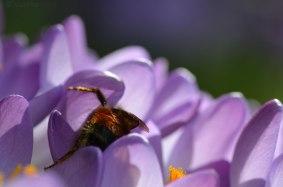 closeup of bombus melanopygus, the black-tailed or orange-rumped bumble bee