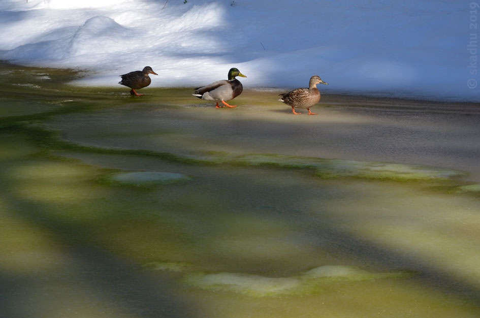 ducks walking across pond ice